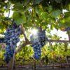 a-turkish-wine-classic-grape-okuzgozu